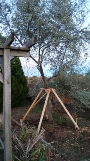 台風で倒れた「ロシアンオリーブ」の樹を、起こしました。